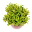 Lemon Thyme herb in pot — Stock Photo #2835022