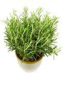 Rosemary plant and pot — Stock Photo
