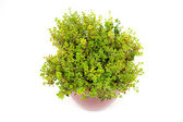 Lemon Thyme herb in pot — Stock Photo