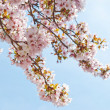 Cherry Blossom in springtime — Stock Photo