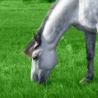 Stock Photo: White arabihorse