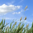 High reed against cloudy sky in wind day — Foto de Stock