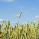 Yellow grain growing in a farm field — Stock Photo #2869151