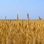Yellow grain growing — Stock Photo #2869602