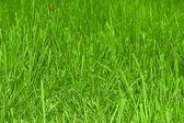 Grass field texture with ladybird — Stock Photo