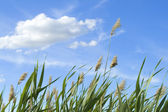 High reed against cloudy sky in wind day — Stock Photo