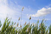 Reed against cloudy sky — Stock Photo