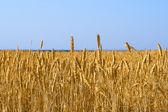 Yellow grain growing — Stock Photo