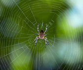 Spider on the web — Stock Photo