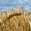 Stock Photo: Ripe yellow wheat