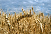 Ripe yellow wheat — Stock Photo