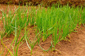 Onions Growing In The Garden — Stock Photo