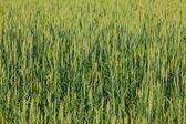 Green field detail — Stock Photo