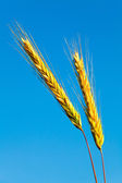 Stems of the rye over the bright blue sky — Stock Photo