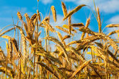 Stems of the rye — Stock Photo