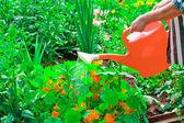 Regar flores em dia de verão ensolarado — Foto Stock