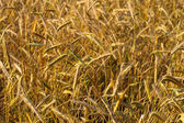 Yellow grain in the field — Stock Photo