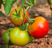 Green and red tomatoes — Stock Photo