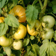 Green tomatoes hanging from branch in the backyard - Stock Photo