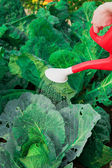 Watering cabbage — Stock Photo