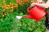 Molhando os legumes — Fotografia Stock