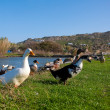 Foto Stock: Domestic ducks on the green grass
