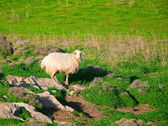 Sheep on a green pasture in village — Stock Photo