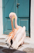 Pelican cleans feathers near door — Stock Photo