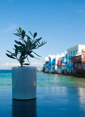 Olive sapling on the Little Venice — Stock Photo