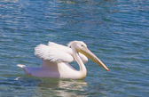 White pelican floating on the sea — Stock Photo