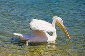 Pelican floating on the waves of the sea — Stock Photo