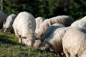 Sheeps — Stock Photo
