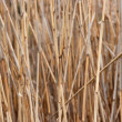 Reed — Stock Photo