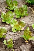 Campo de salada verde — Fotografia Stock