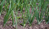 The green onions grow — Stock Photo