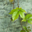 Stock Photo: Leaves on old wall - background