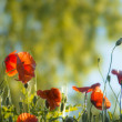 Red poppies in sunrise — Stock Photo #3423759