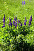 Lupine flowers — Stock Photo