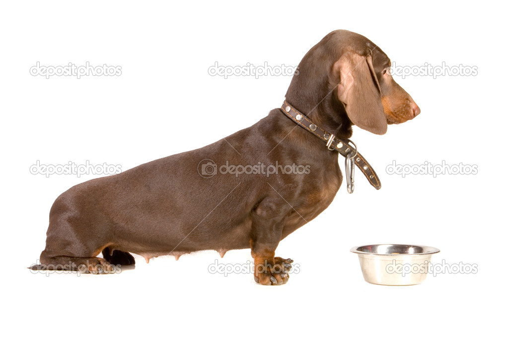 Brown dachshund want to eat  Stock Photo #2967472