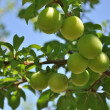 Plums on tree — Stock Photo #3014474