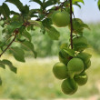 Plums on tree — Stock Photo #3014486