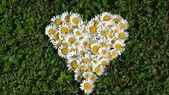 Daisy heart — Stock Photo
