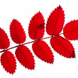 Red autumn twig with leaves — Stock Photo