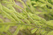 Conifer background — Stock Photo