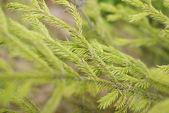 Conifer background — Stock Photo