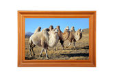 Photo of camels — Stock Photo