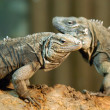 Portrait of couple of  iguanas — Stock Photo