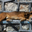 Dog sleeping on the street in San Cristobal — Stock Photo
