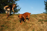 Two young dogs playing on the hill — Stock Photo