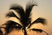 Palm em susnet luz em puerto escondido — Foto Stock